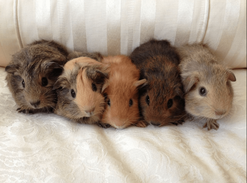 baby guinea pigs -pets4homes