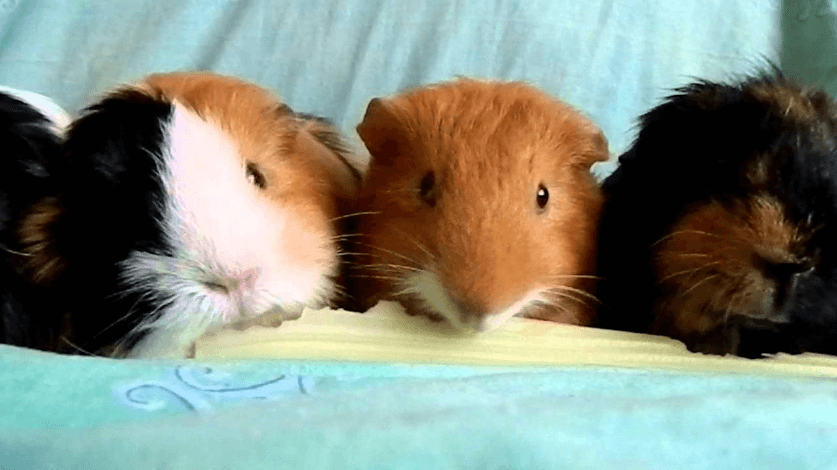 can guinea pigs eat carrots and celery