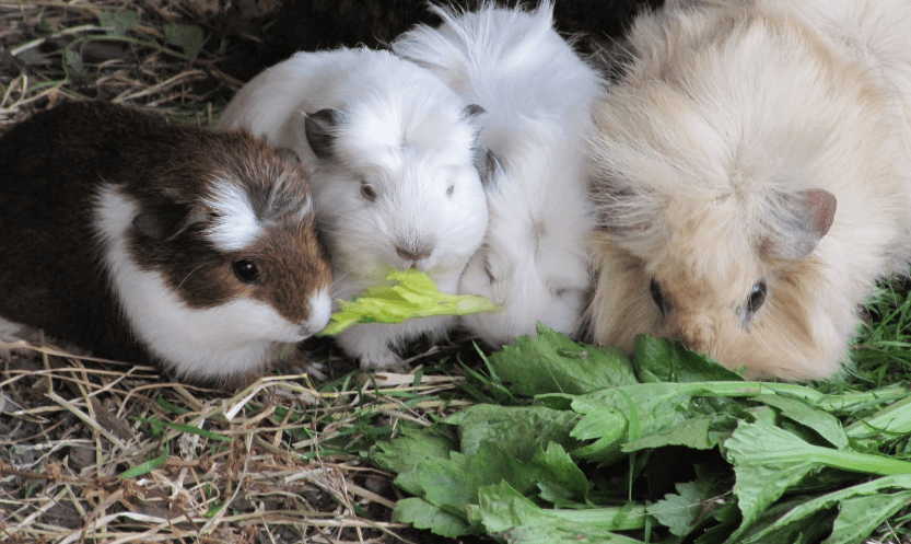 can guinea pigs eat celery and carrots