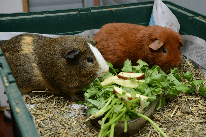 can guinea pigs eat celery everyday
