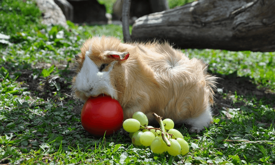 can guinea pigs eat green grapes