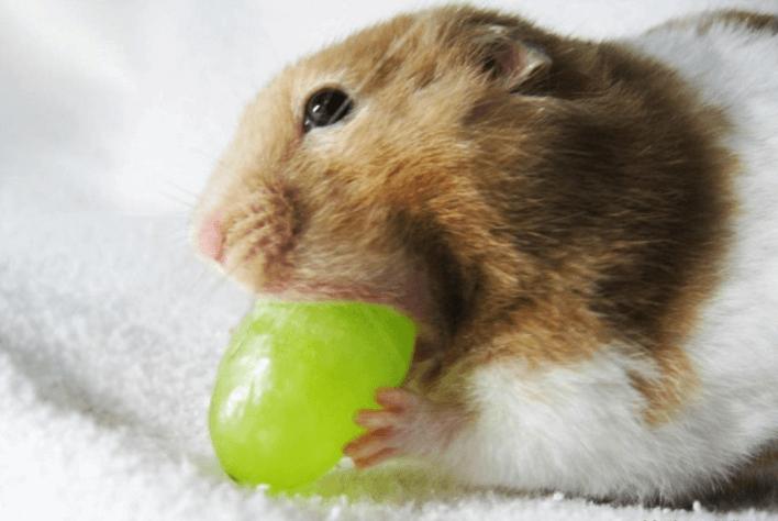 can guinea pigs eat purple grape