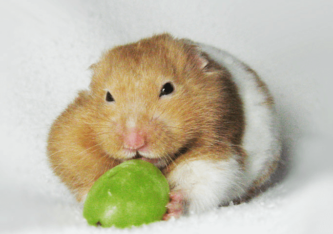 can guinea pigs eat seedless grapes