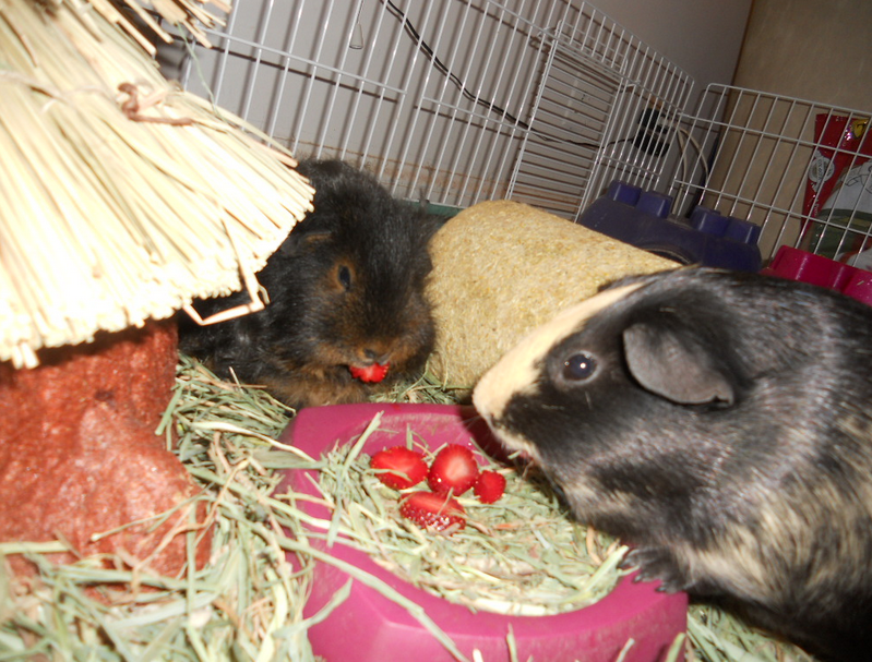 can guinea pigs eat strawberry tops