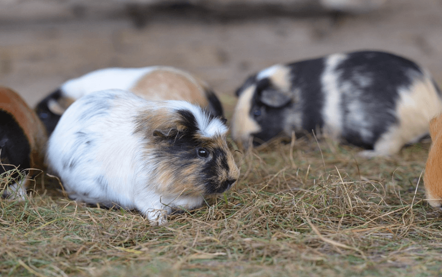 how long do guinea pigs live in captivity