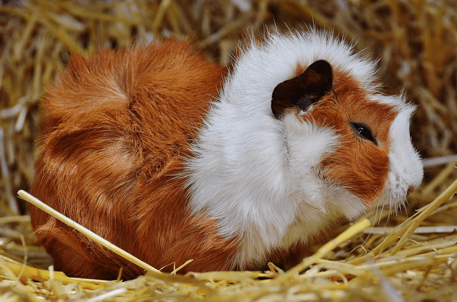 how long do long haired guinea pigs live