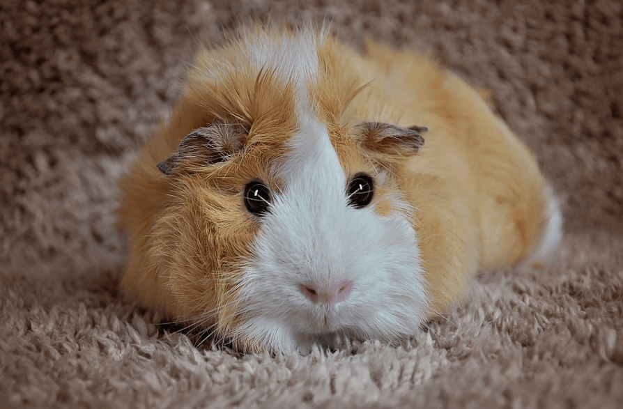 how long do pet guinea pigs live