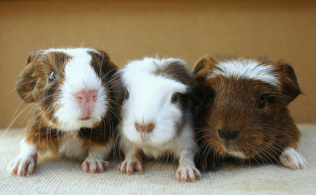 Baby Guinea Pigs How To Care And Treating With Extra Care Cabrito
