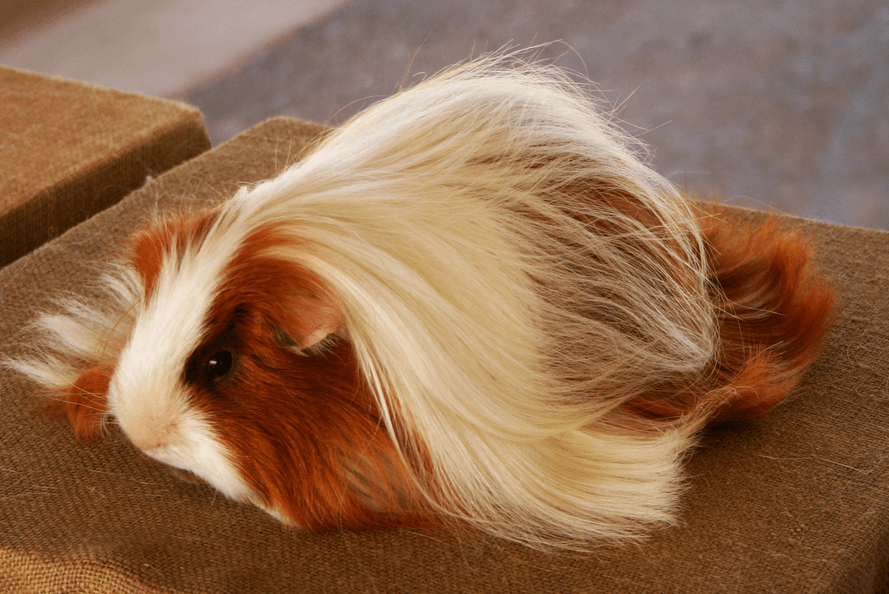 peruvian guinea pig baby