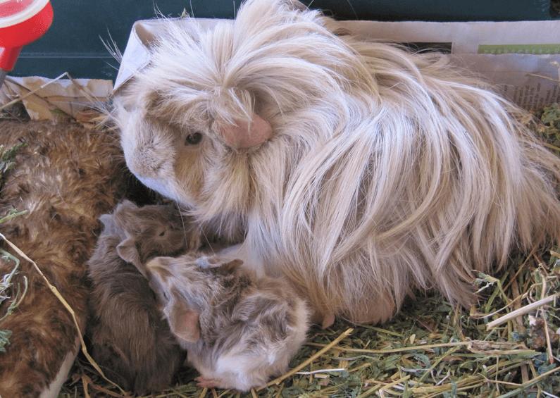 peruvian guinea pig breeders