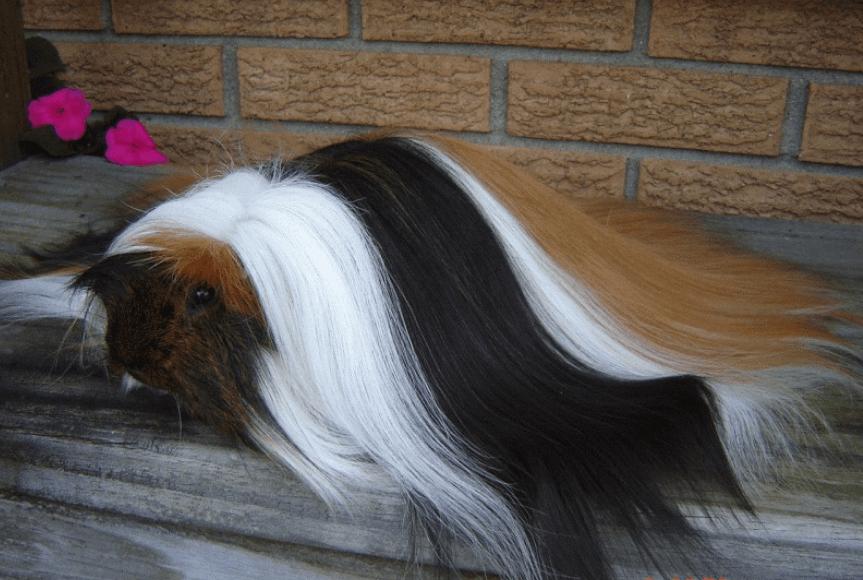 peruvian guinea pig festival pinimg-com