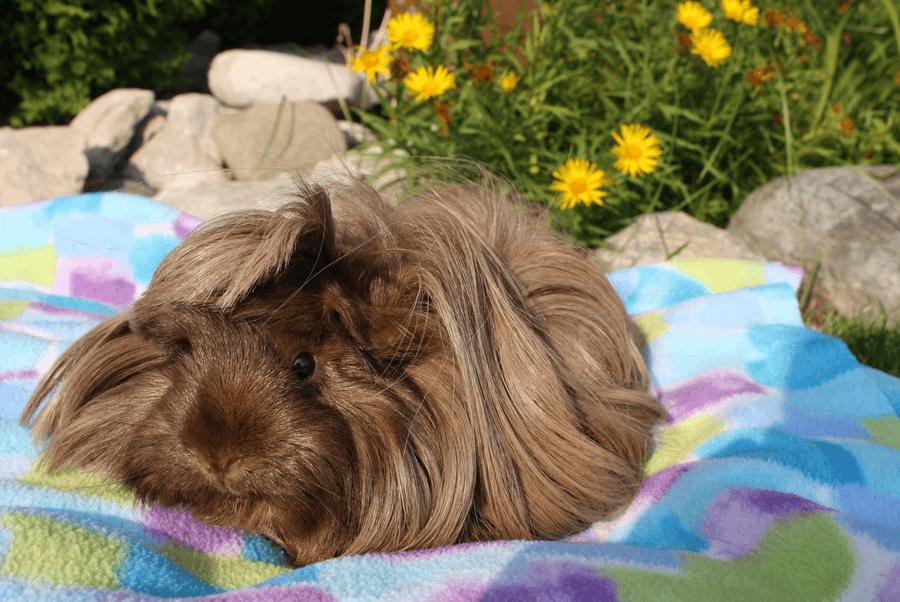peruvian guinea pig food