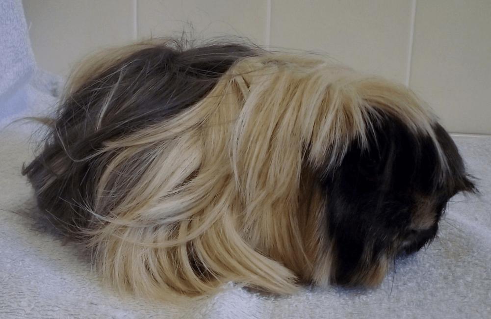 peruvian guinea pig life span