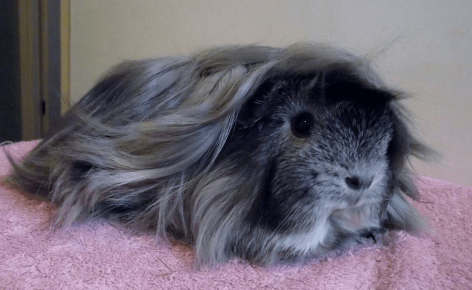 peruvian long haired guinea pig