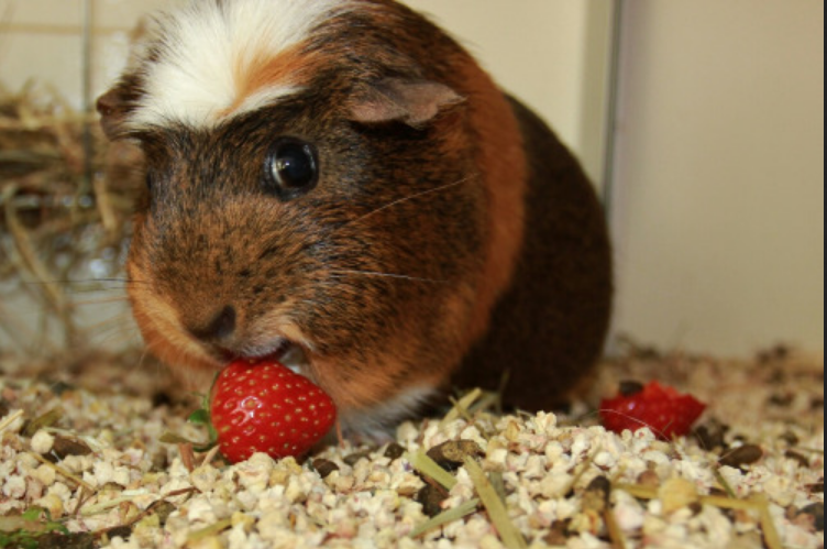 what can guinea pigs eat strawberries