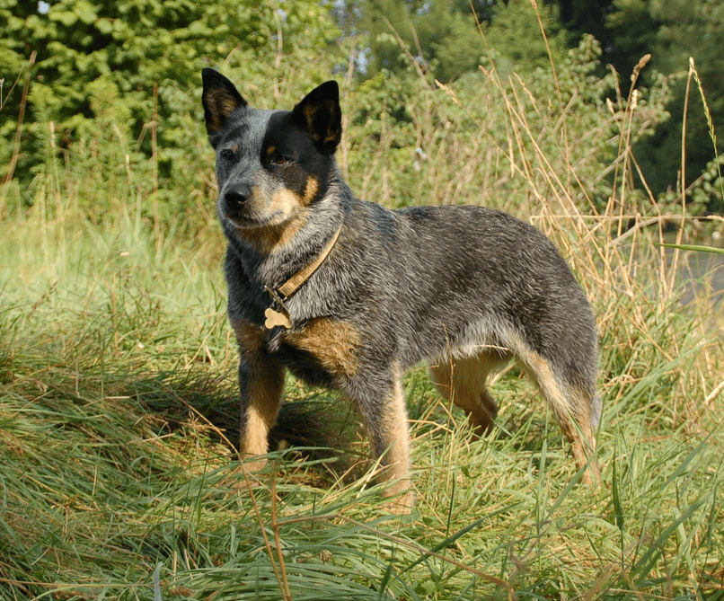 Animals Without Tail: Australian Stumpy Tail Cattle Dog