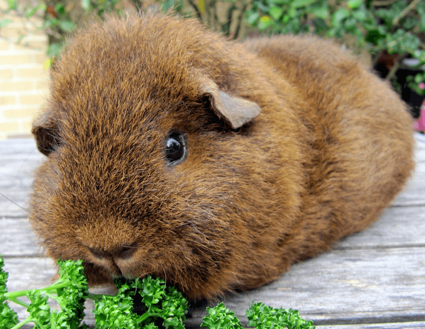 Can Guinea Pigs Eat Broccoli And Cauliflower