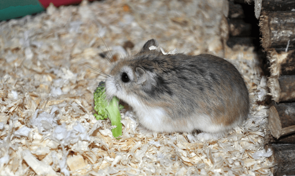 Can Guinea Pigs Eat Broccoli Green