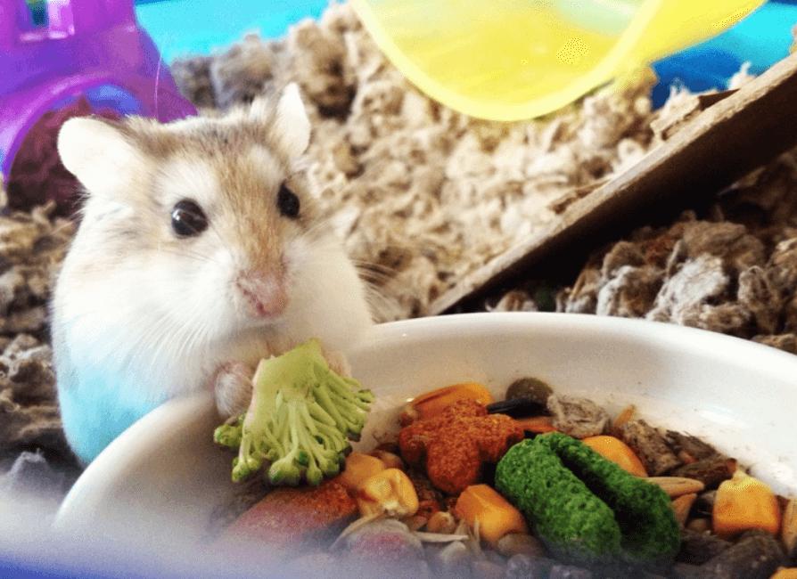 Can Guinea Pigs Eat Broccoli Stalks