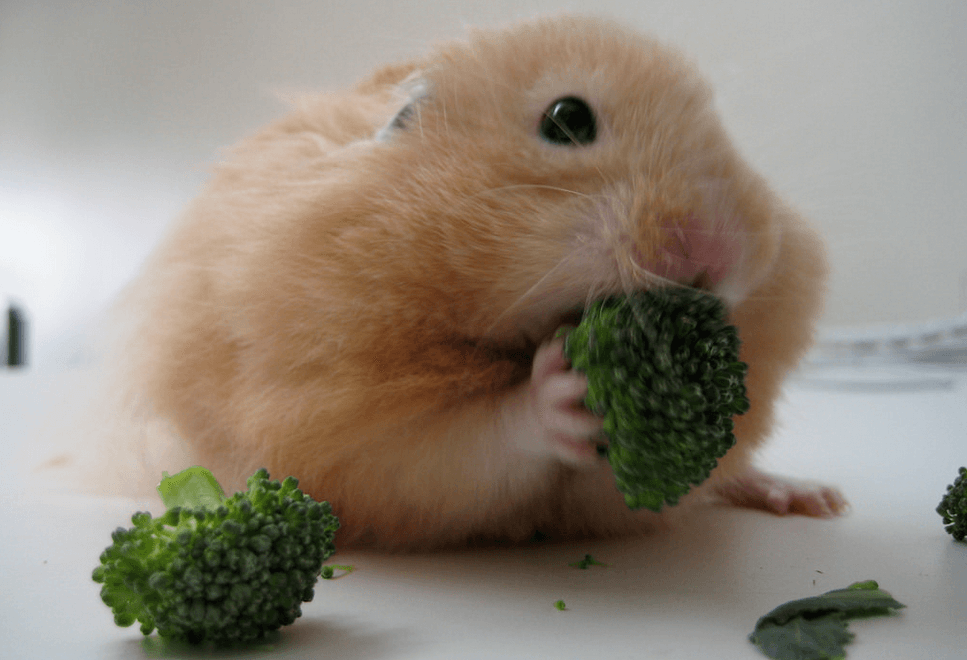 Can Guinea Pigs Eat Broccoli Stems