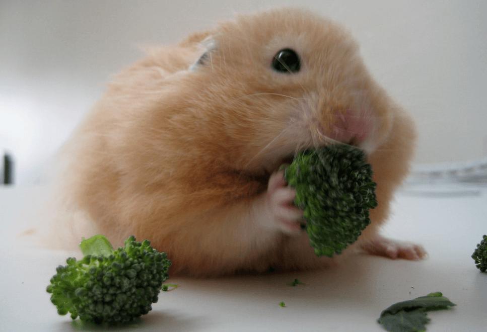Can Guinea Pigs Eat Broccoli Stems