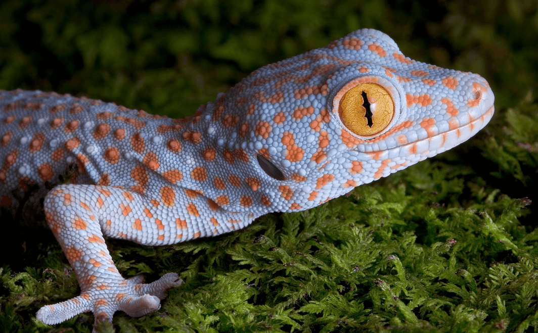 average leopard gecko lifespan