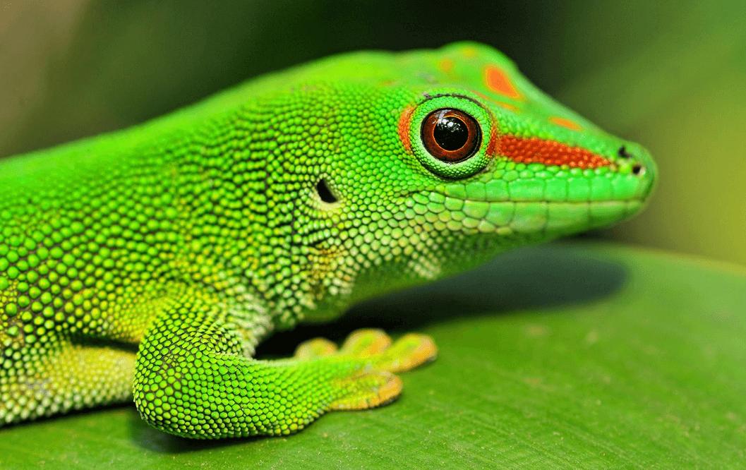 leopard gecko lifespan in captivity