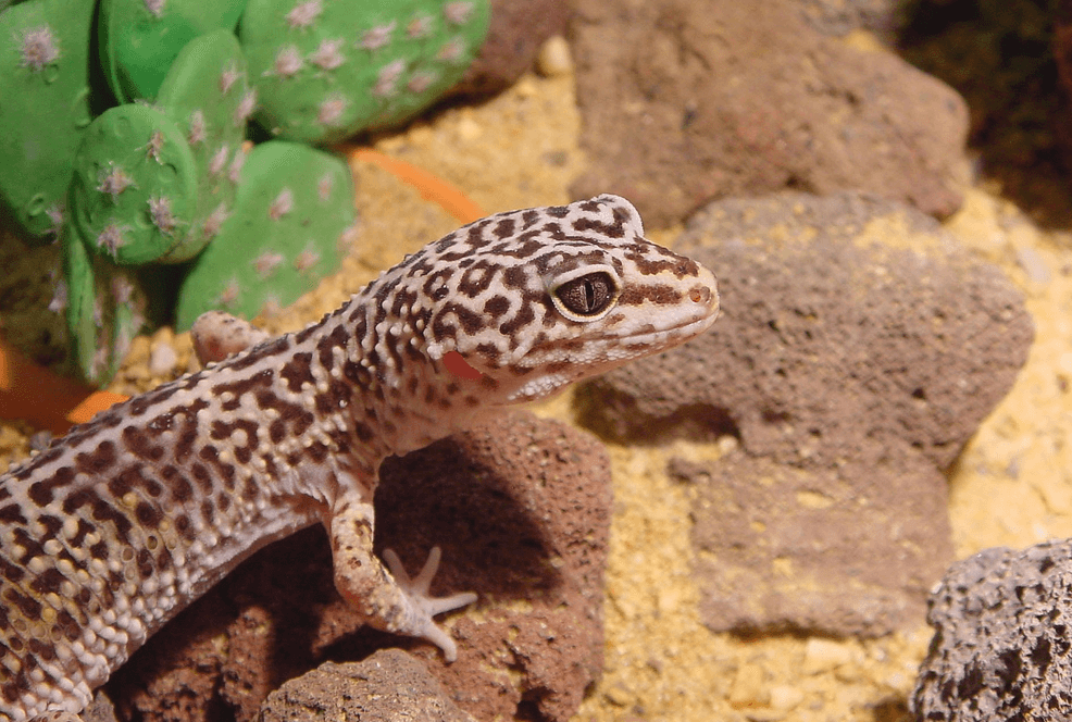 lifespan of a leopard gecko