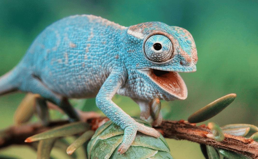 lifespan of leopard gecko