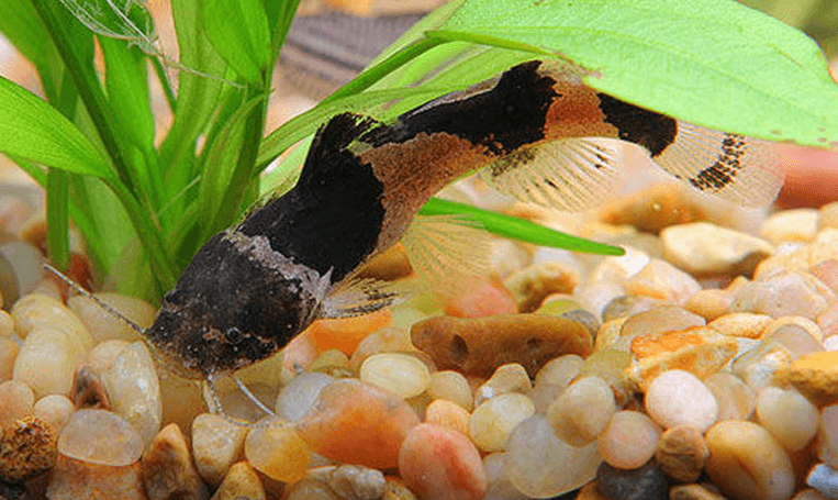 south american bumblebee catfish