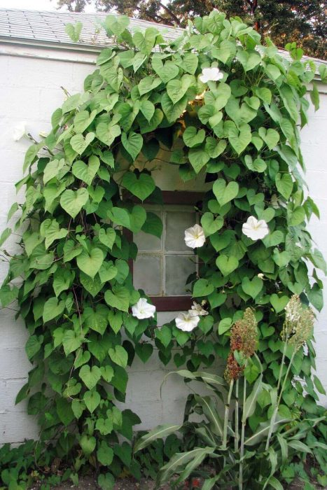 Backyard Landscaping Ideas - Climbing Moonflower - Cabritonyc.com